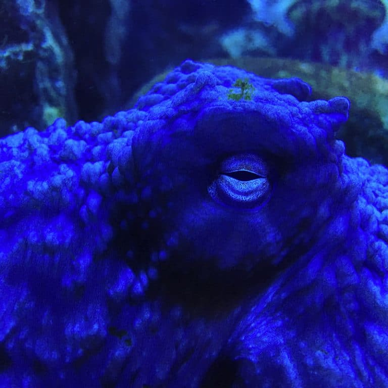 octopus blue eye